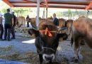 124 concurso exposición de ganado saneado