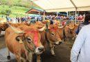¿Fin de la ganadería en Caso?