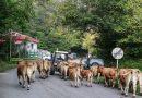El concejo presume de ganado durante su feria anual