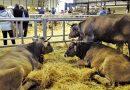 Laviana invierte 45.000 euros en la ganadería local