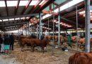 Caso presume de ganado y artesanos